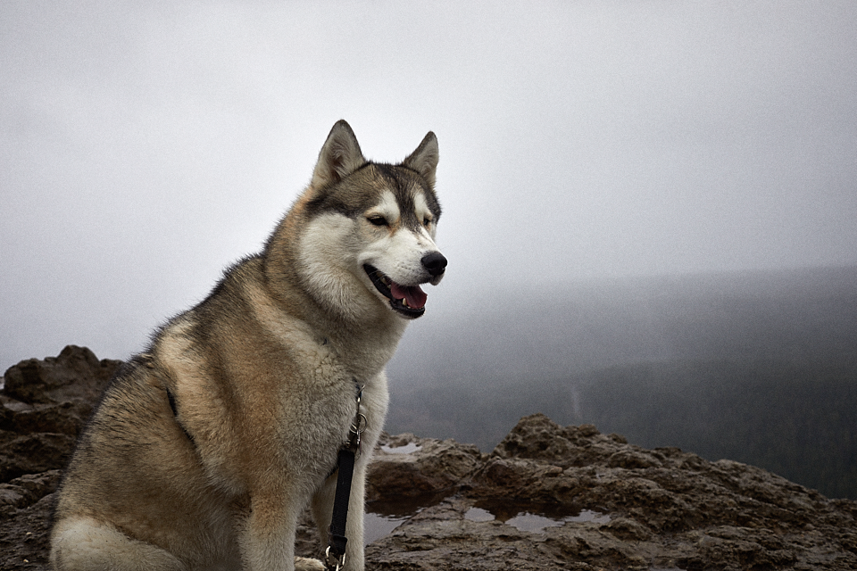 adrian-collier-fin-the-siberian-husky-rattlesnake-ledge-170329.png