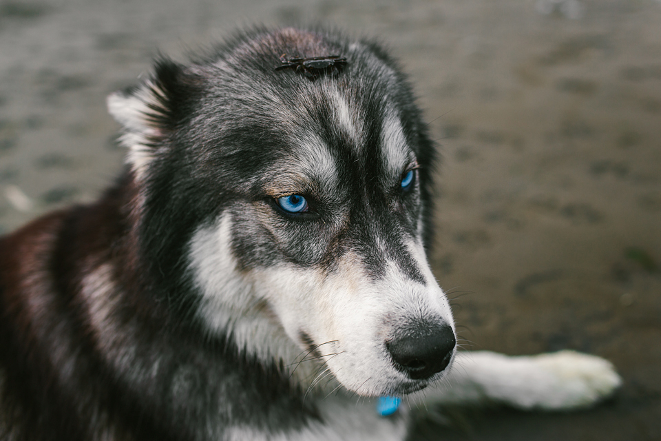 adrian-collier-fin-the-siberian-husky-seattle-wa-14417-20150426.jpg