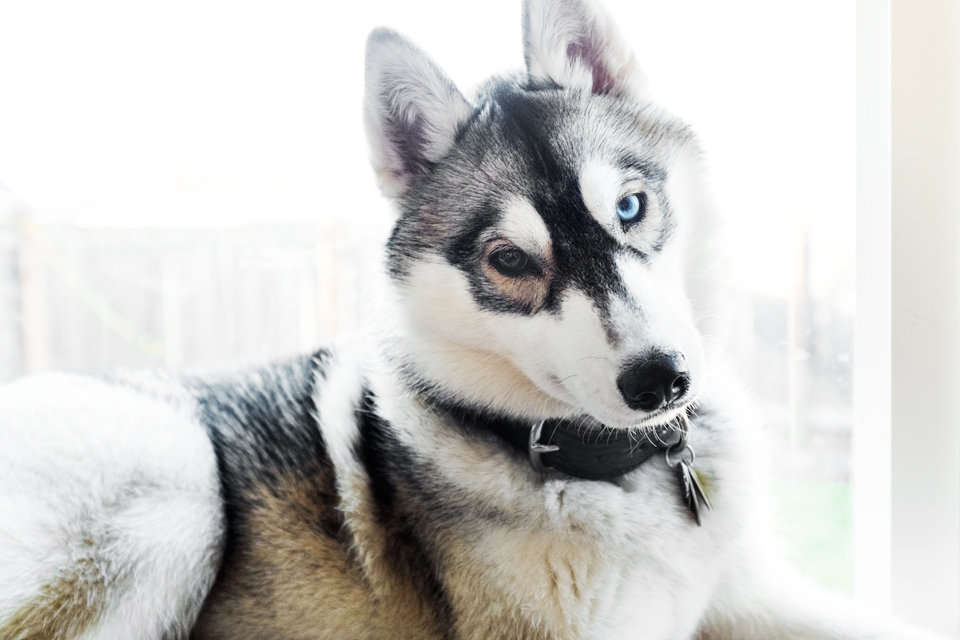 adrian-collier-fin-the-siberian-husky-seattle-wa-8092-20150222.jpg