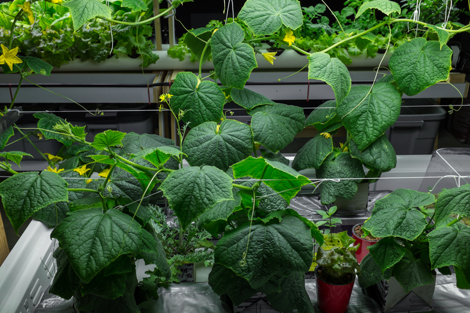 adrian-collier-hydroponic-vegetable-garden-seattle-wa-13209-20150416.jpg