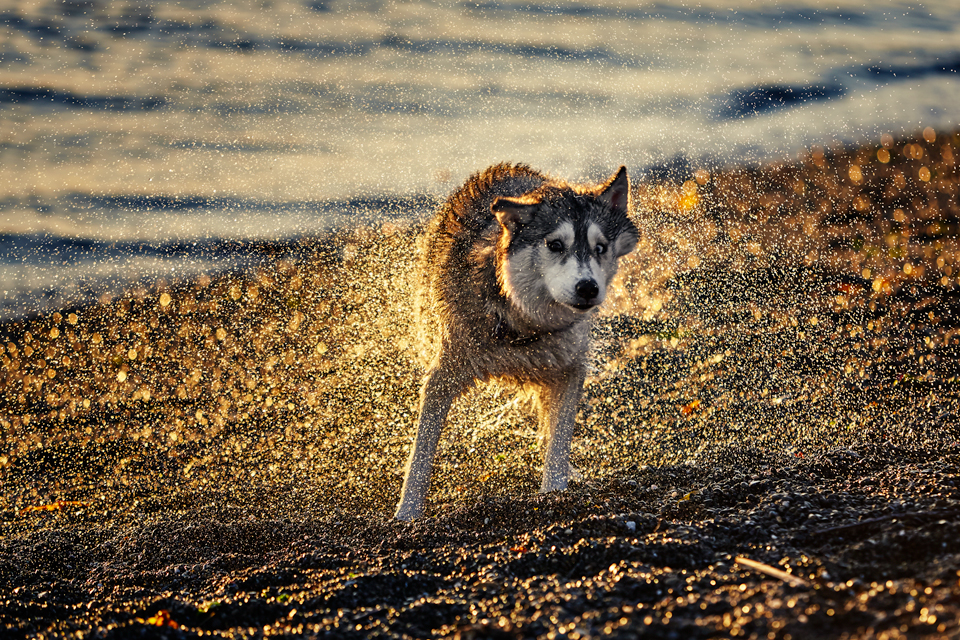 fin-the-siberian-husky-160522.jpg